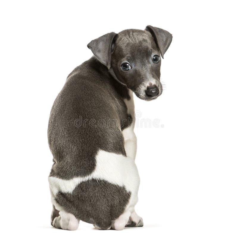 Cachorrinho do galgo italiano que senta-se contra o fundo branco fotografia de stock royalty free