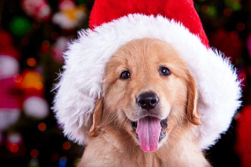 Cachorrinho do golden retriever do cão de Christhmas imagem de stock royalty free