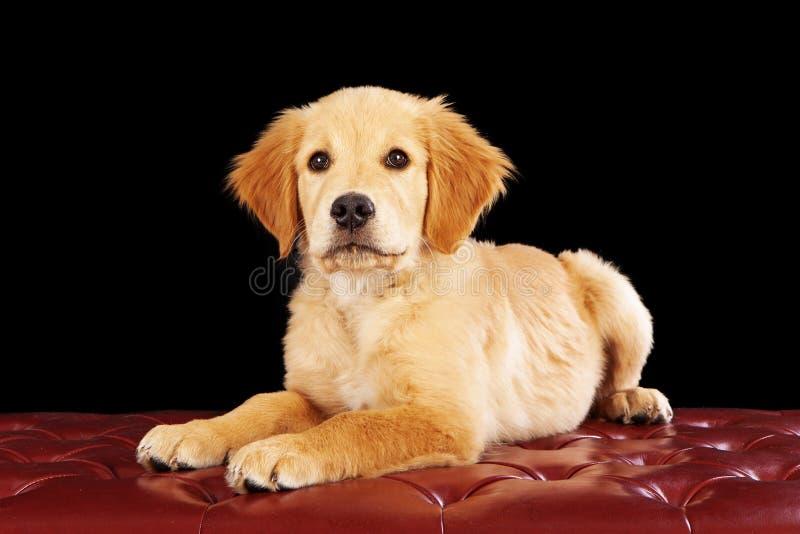 Cachorrinho do golden retriever em um otomano vermelho foto de stock