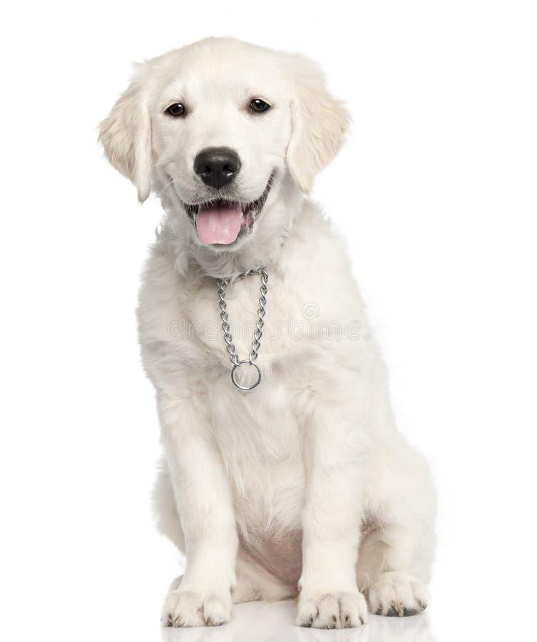 Cachorrinho do golden retriever 14 semanas foto de stock