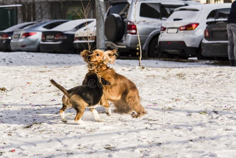 Cachorrinho do lebreiro e inglês cocker spaniel imagens de stock