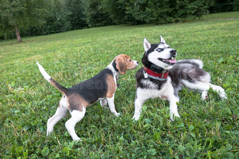 Cachorrinho do lebreiro que joga com um cão de puxar trenós da raça do cão no parque da cidade imagem de stock