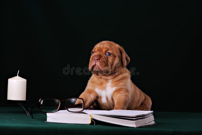 Cachorrinho do mastim de Dogue de Bordéus Francês fotografia de stock royalty free