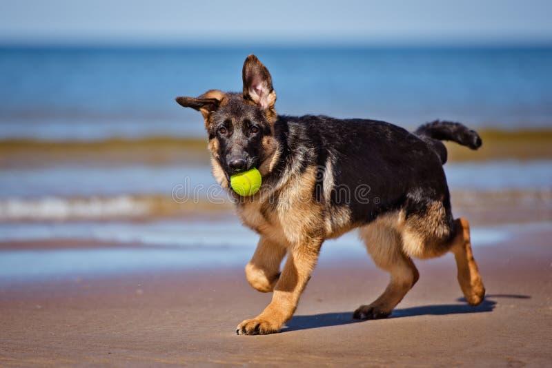 Cachorrinho do pastor alemão na praia fotos de stock