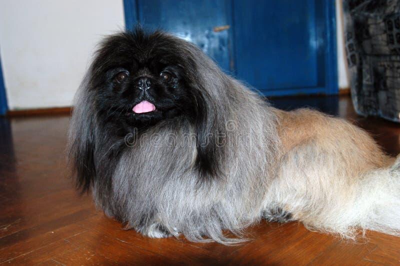 Cachorrinho do pequinês fotografia de stock