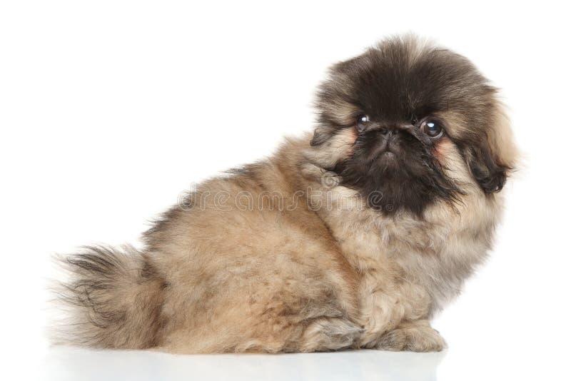 Cachorrinho do pequinês no fundo branco fotos de stock royalty free