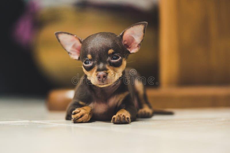 Cachorrinho do Pinscher fotografia de stock