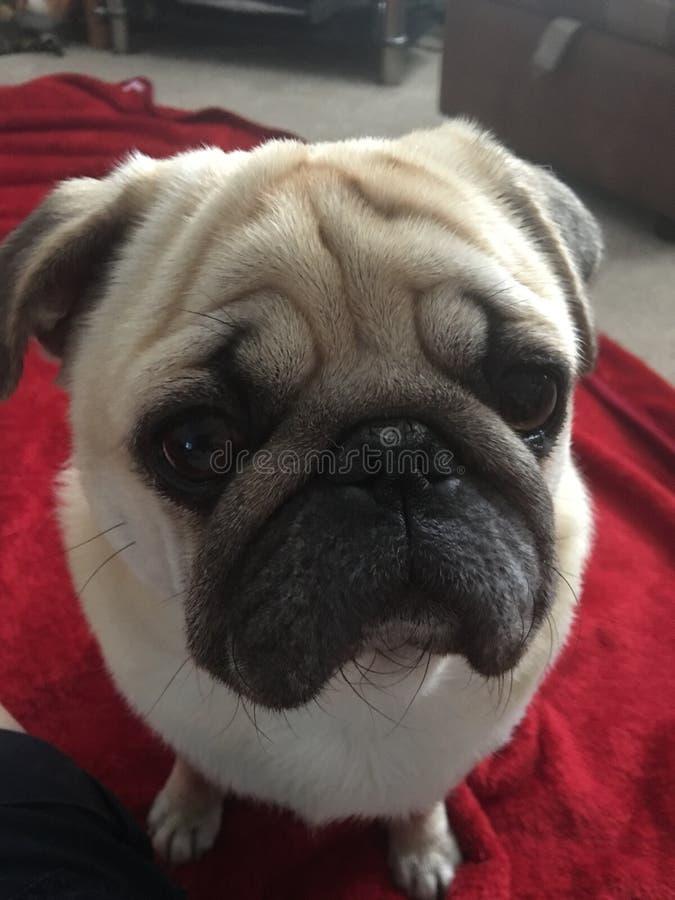 Cachorrinho do Pug imagens de stock royalty free