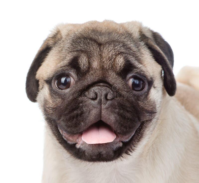Cachorrinho do pug do focinho do close up Isolado no fundo branco imagem de stock