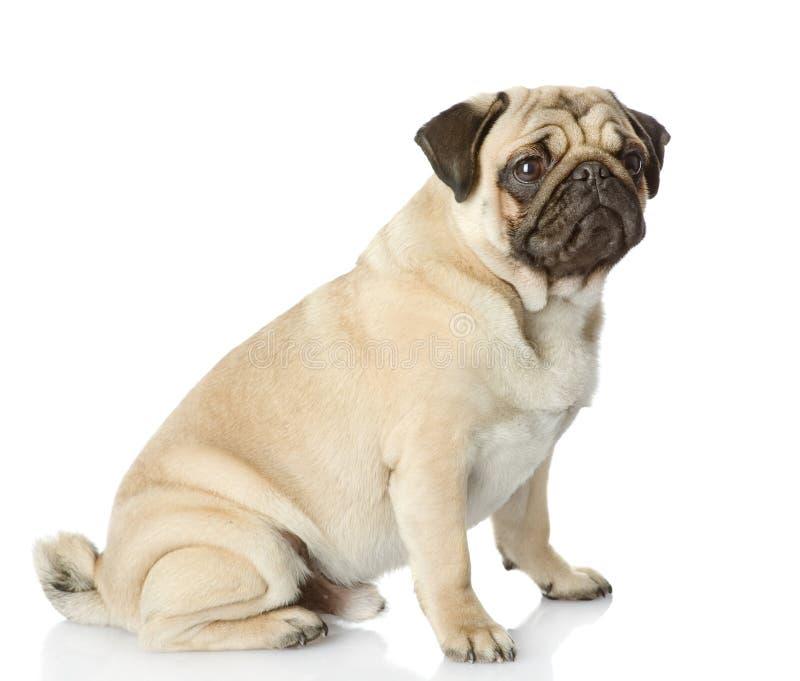 Cachorrinho do Pug que senta-se no perfil imagem de stock royalty free