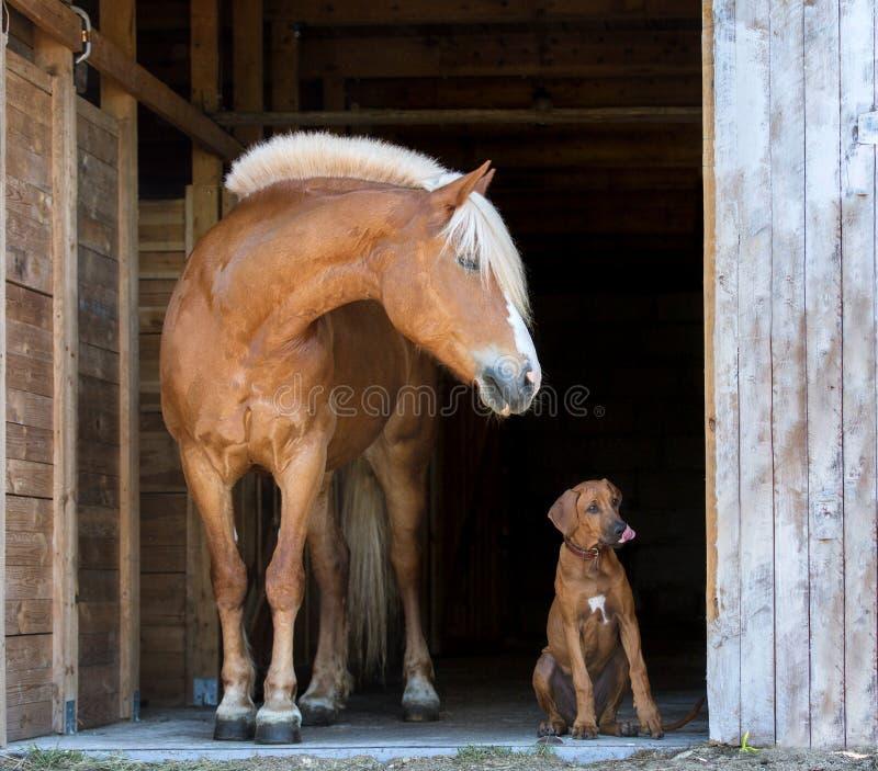 Cachorrinho do ridgeback de Rhodesian com um cavalo imagens de stock