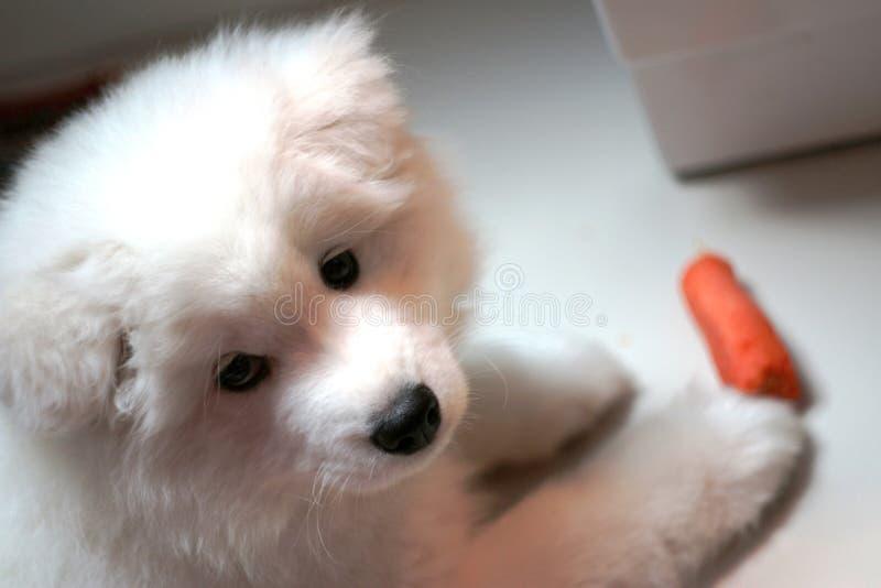 Cachorrinho do Samoyed fotos de stock