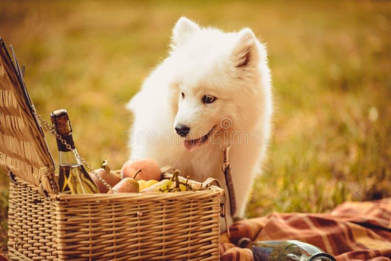 Cachorrinho do Samoyed que come o pêssego na cesta próxima lisa marrom do piquenique imagens de stock