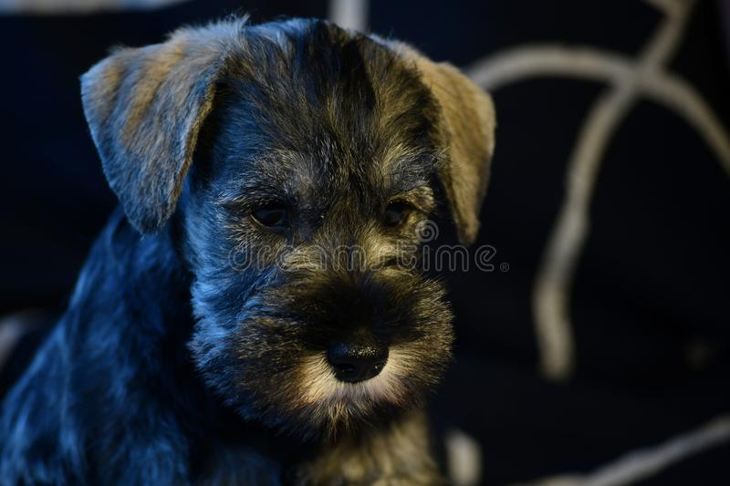 Cachorrinho do Schnauzer diminuto fora dos pais do campeão fotografia de stock royalty free