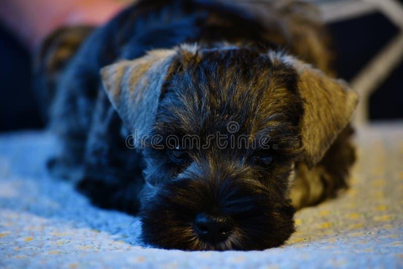 Cachorrinho do Schnauzer diminuto fora dos pais do campeão fotografia de stock royalty free