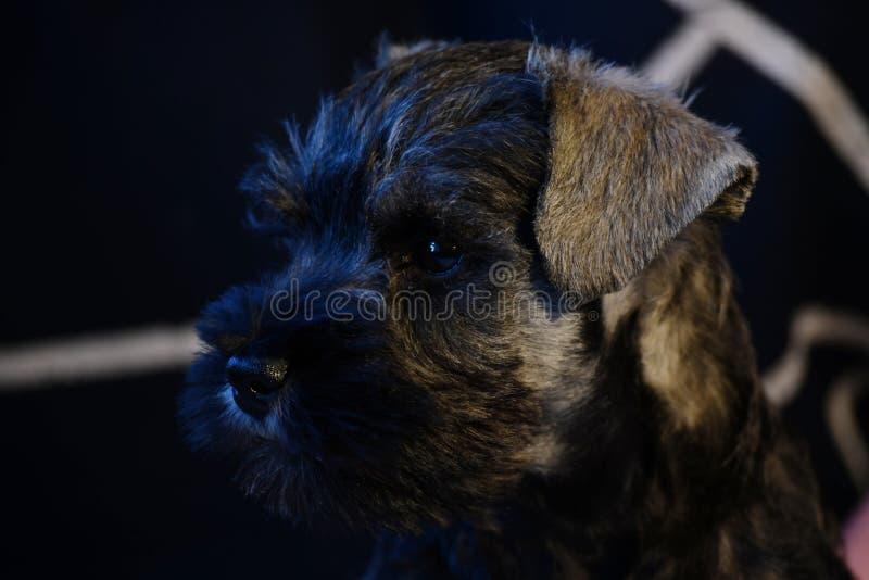 Cachorrinho do Schnauzer diminuto fora dos pais do campeão fotografia de stock