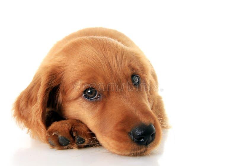 Cachorrinho do setter irlandês fotografia de stock