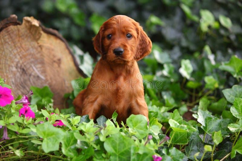Cachorrinho do setter irlandês que senta-se na hera imagens de stock