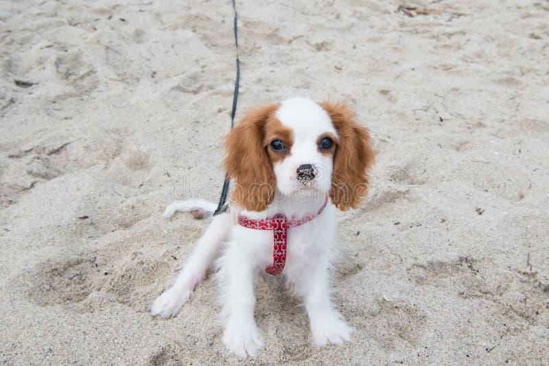 Cachorrinho do spaniel de rei Charles do cão ou dos Cavalier fotografia de stock royalty free