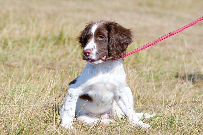 Cachorrinho do spaniel de Springer inglês que senta-se para baixo imagem de stock royalty free
