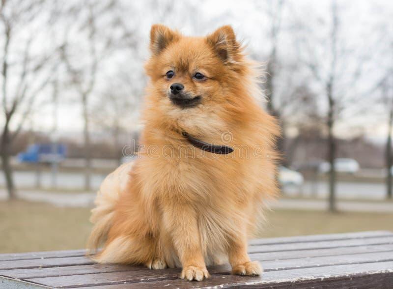Cachorrinho do Spitz de Pomeranian em uma caminhada imagem de stock