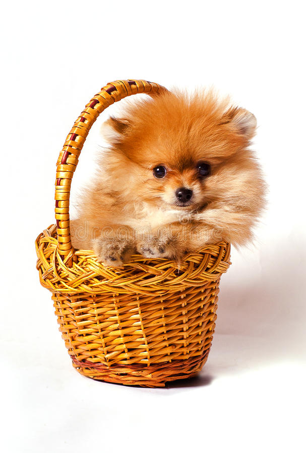 Cachorrinho do Spitz na cesta imagem de stock royalty free