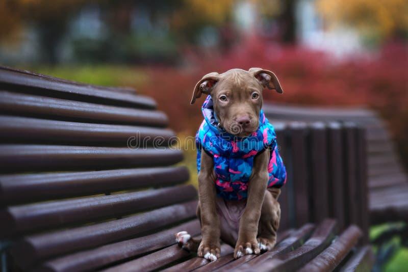 Cachorrinho do terrier de pitbull de Brown que levanta fora no outono imagem de stock