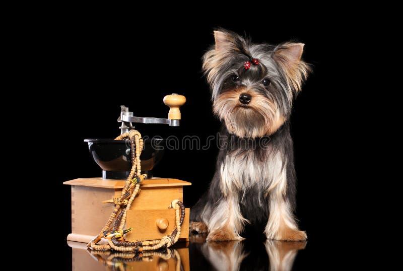 Cachorrinho do yorkshire terrier no fundo preto imagem de stock royalty free
