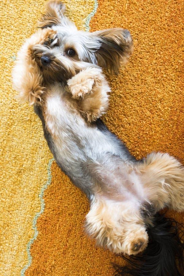 Cachorrinho do yorkshire terrier que é bonito fotografia de stock royalty free