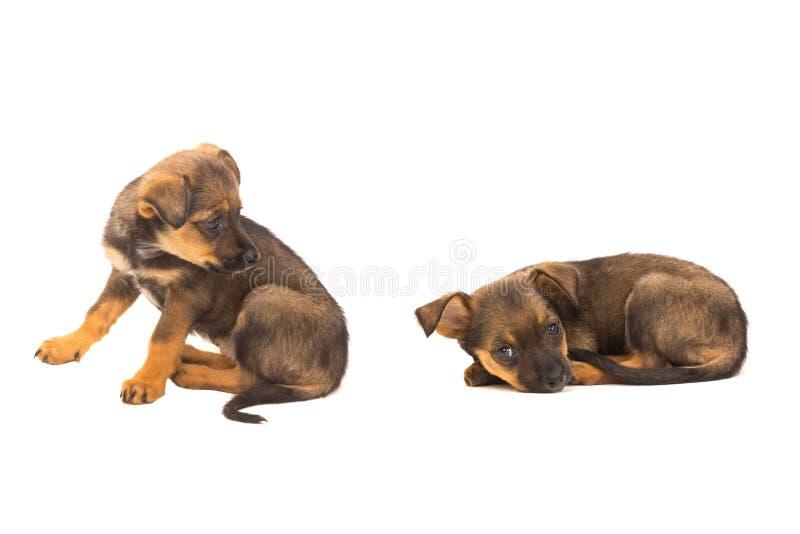 Cachorrinho dois marrom foto de stock