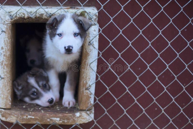 Cachorrinho dois meses de cão ronco velho fotos de stock