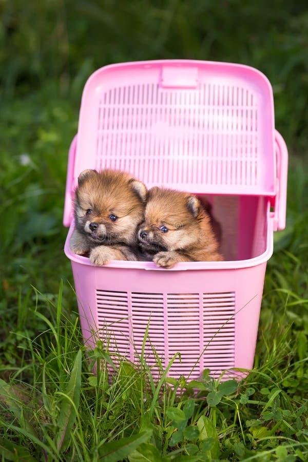 Cachorrinho dois Pomeranian em uma caixa cor-de-rosa fotografia de stock