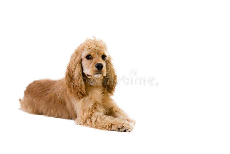 Cachorrinho dourado pequeno bonito de cocker spaniel imagem de stock royalty free