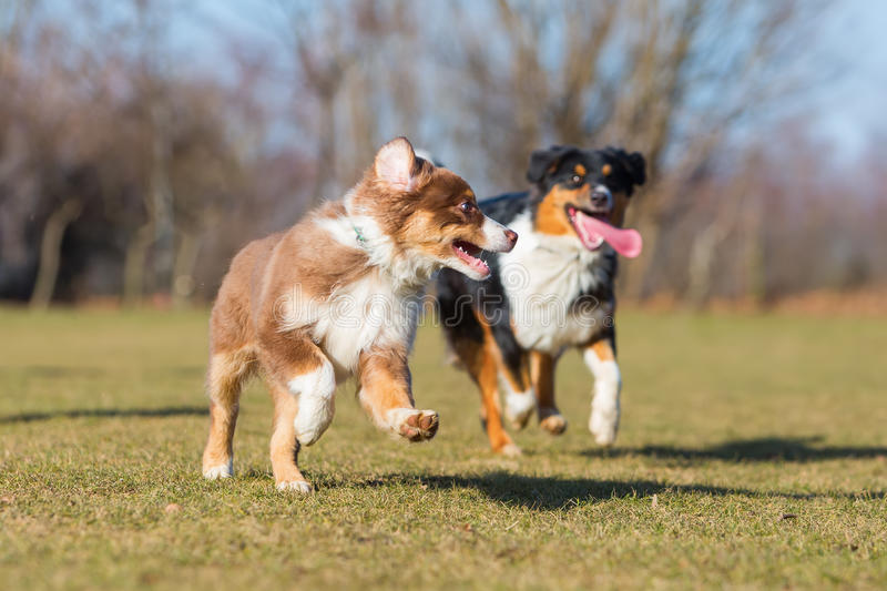 Cachorrinho e adulto australianos running do pastor fotografia de stock royalty free