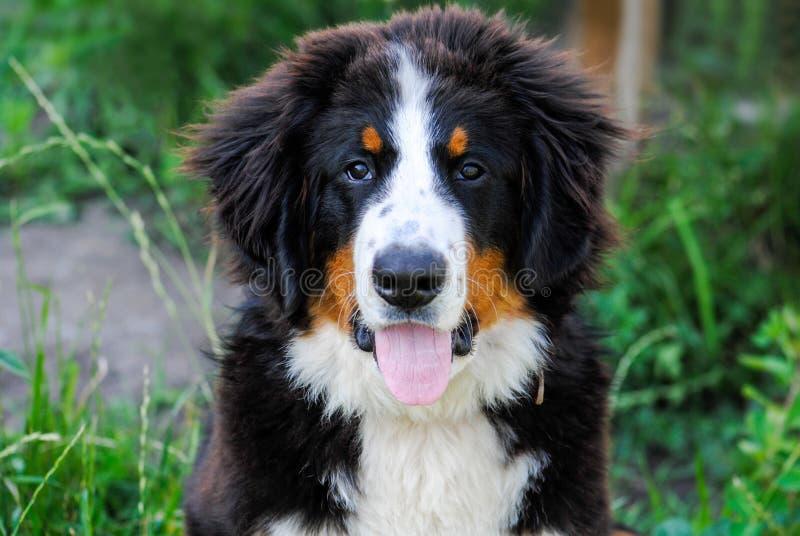 Cachorrinho encantador em um fundo verde, retrato do cão, cão de montanha de Bernese imagem de stock royalty free