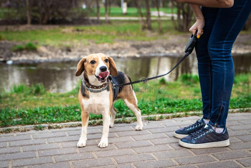 Cachorrinho engraçado do lebreiro com fim da língua acima do retrato na natureza fotos de stock royalty free
