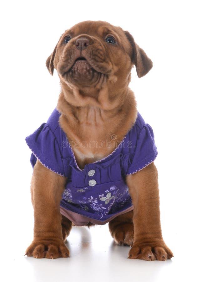 Cachorrinho fêmea de dogue de Bordéus imagens de stock royalty free
