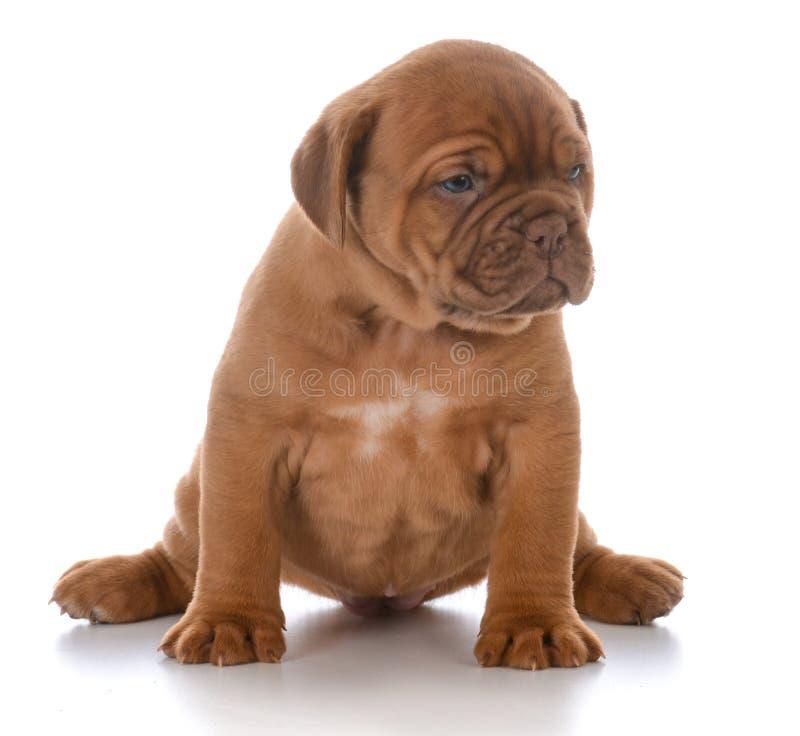 Cachorrinho fêmea de dogue de Bordéus imagem de stock royalty free