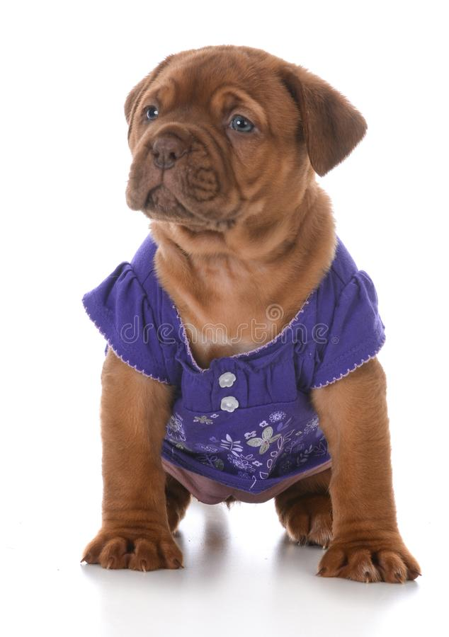 Cachorrinho fêmea de dogue de Bordéus imagem de stock