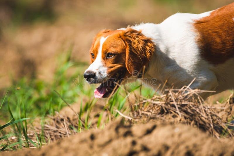 Cachorrinho fêmea do spaniel bretão na caça no campo fotos de stock royalty free