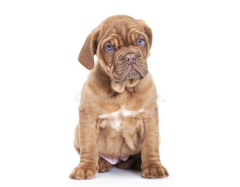 Cachorrinho francês do mastim sobre o fundo branco foto de stock