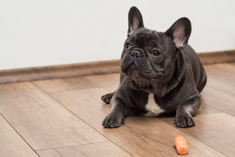 Cachorrinho francês pequeno bonito do buldog imagem de stock