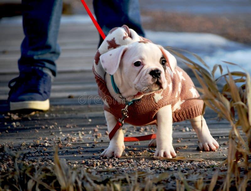 Cachorrinho frio com uma camiseta fora fotos de stock