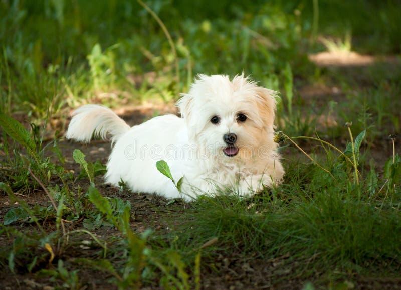Cachorrinho havanese do bichon bonito em uma floresta imagem de stock royalty free