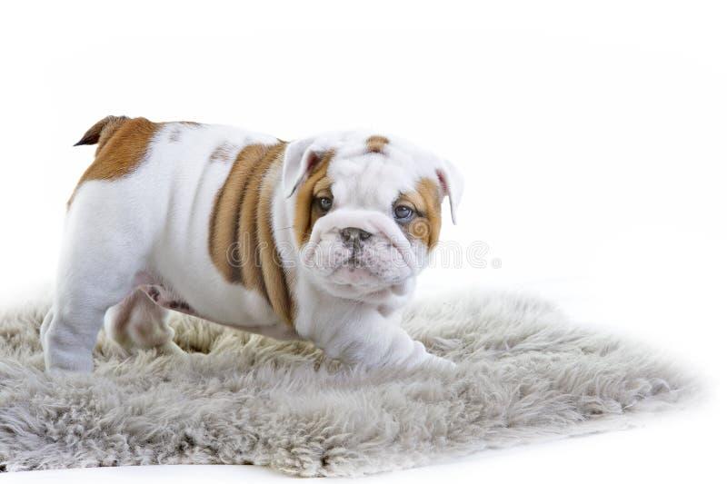 Cachorrinho inglês bonito do cão do buldogue fotos de stock