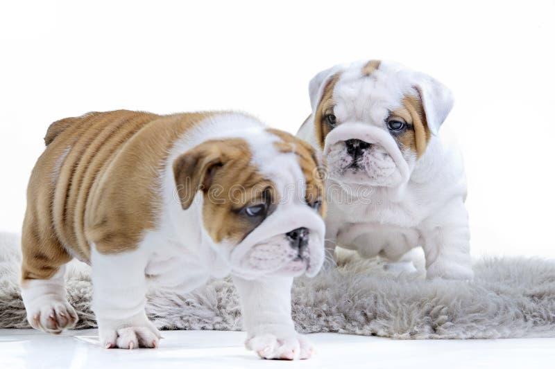 Cachorrinho inglês bonito do cão do buldogue imagem de stock