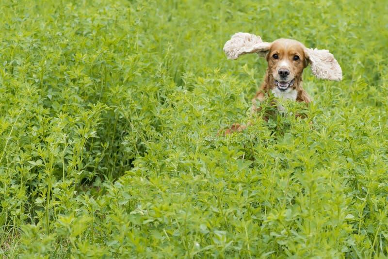 Cachorrinho inglês cocker spaniel no fundo da grama foto de stock