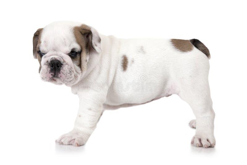 Cachorrinho inglês do buldogue no fundo branco fotos de stock