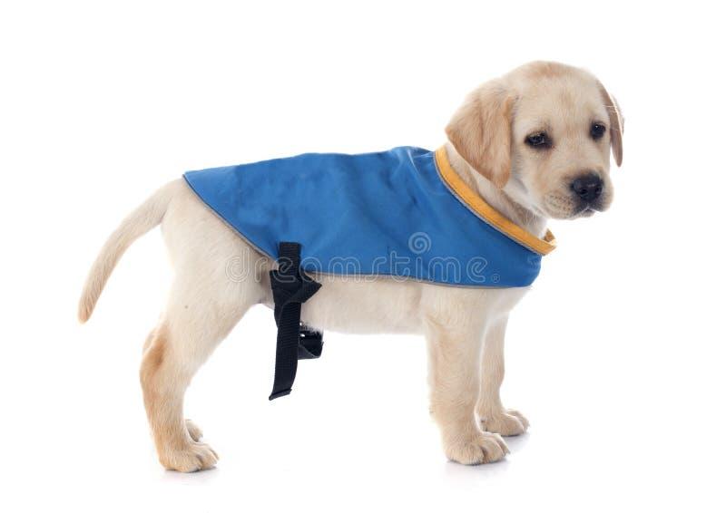 Cachorrinho labrador retriever imagens de stock