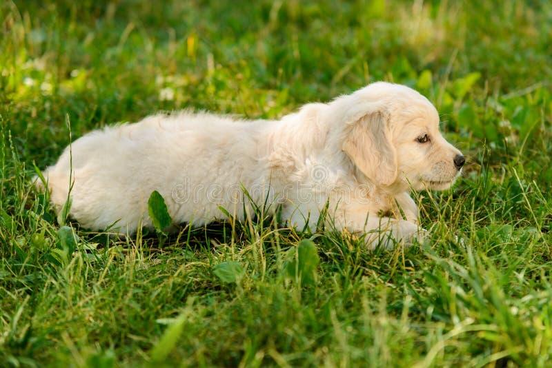 Cachorrinho louro do golden retriever fotografia de stock